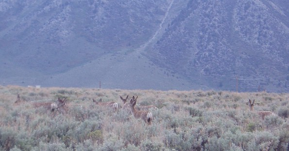 Deer at Hot Creek. I saw a lot of Deer this week and almost hit 4 deer in 4 different areas.