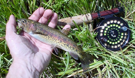 What a real Warner Redband Trout should look like.